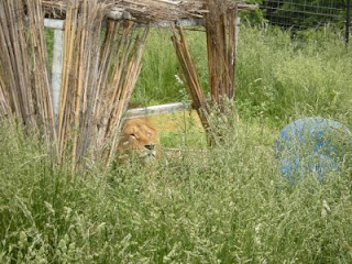 Lion in cover grass