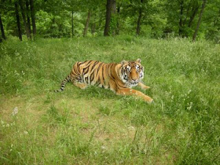 Tiger Sprawls in New Enclosure