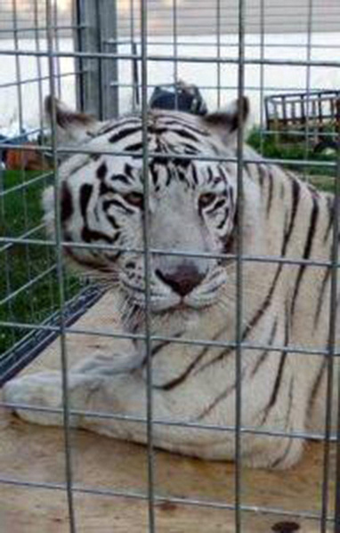 big-cat-rescue-art-gnugil2t-1big-cat-rescue-b-jpg