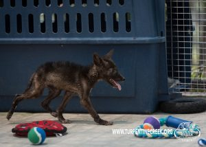 Joy the Melanistic Coyote