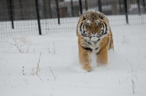 Abagail, an eight-year-old female Siberian tiger, romps through the snow. Cold weather provides extra challenges for us here at Turpentine Creek.