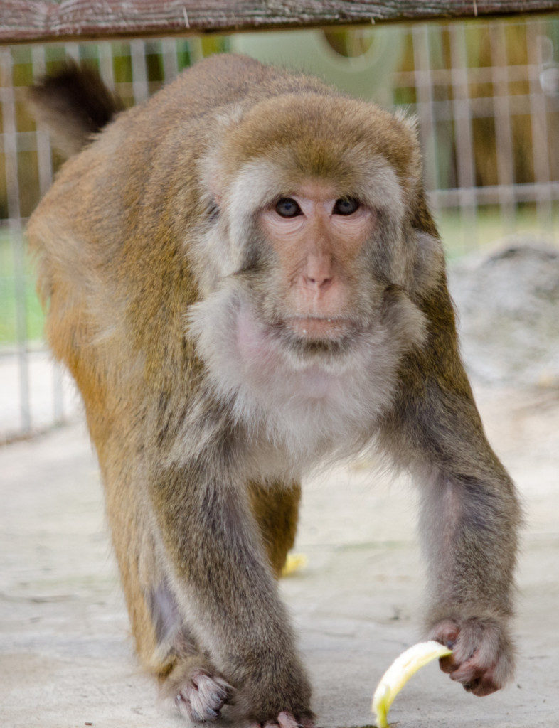 Rhesus Macaque | Turpentine Creek Wildlife Refuge