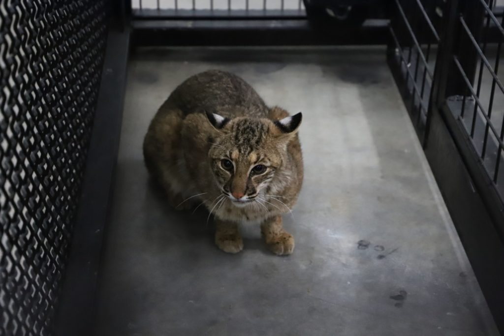 A picture of Prince, a 9-month-old bobcat recently rescued by Turpentine Creek.