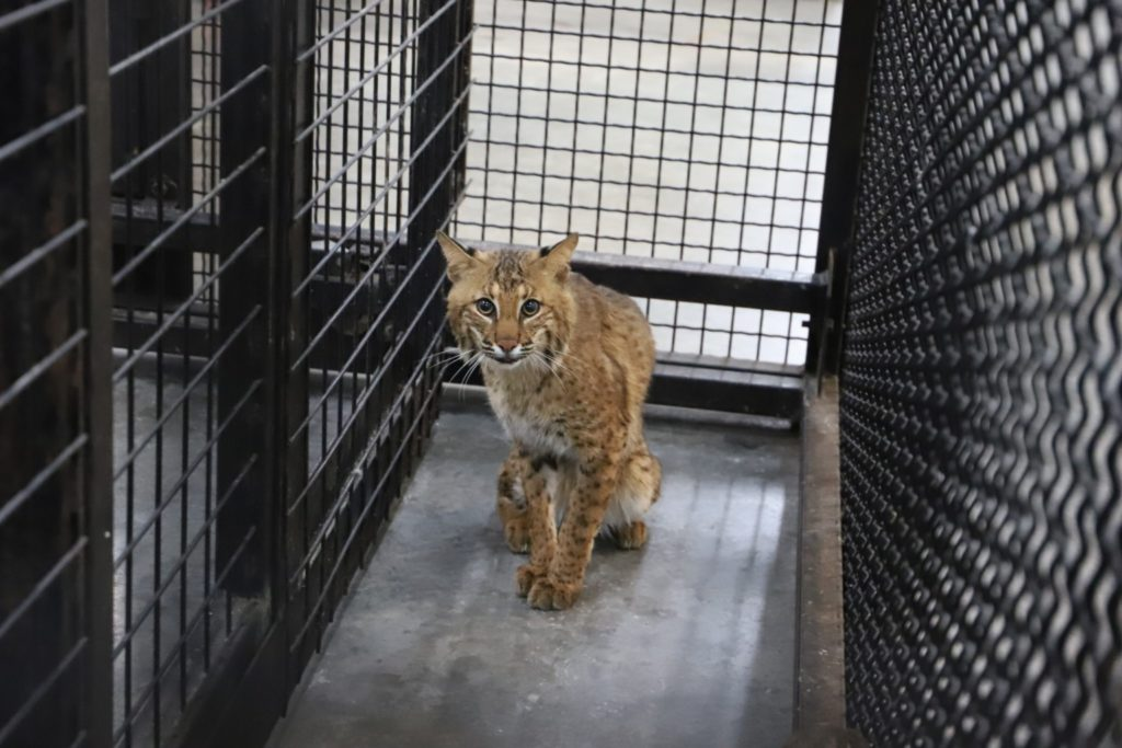 Tony the 9-month-old bobcat recently rescued by Turpentine Creek.