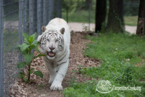 White tiger Donner stalks the camera with a smile on his face.
