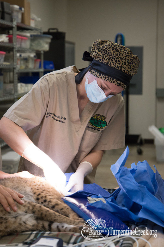 Prince being neutered by Dr. Sweely