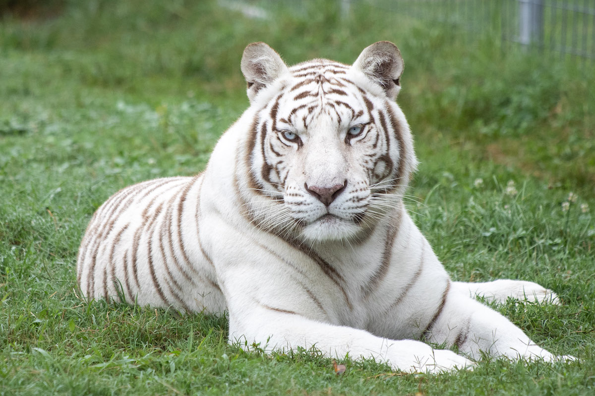 The Source Of All White Tigers | Turpentine Creek Wildlife ...