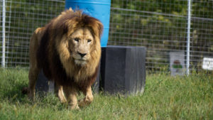 Chief the lion in a large grassy habitat at his new home at TCWR