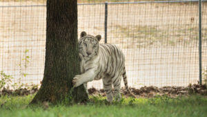Glacier a white tiger scratching a tree in his new grassy habitat at TCWR