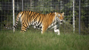 Miles an orange tigress enjoying her large grassy habitat at TCWR