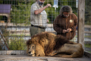 Chief the Lion getting fluids during rescue at Wildlife In Need