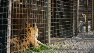 Two tigers - one orange and one white - in small cages at WIN in Indiana