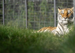 Miles, an orange tigress, relaxes in a large grassy habitat at her new home in Arkansas.