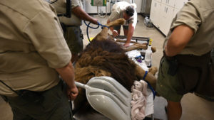 New rescued lion Chief gets a veterinary checkup at TCWR